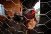 (180622) -- CIUDAD DE MEXICO, junio 22, 2018 (Xinhua) -- Imagen del 15 de junio de 2018, de gallinas en una granja para autoconsumo en la comunidad de Quiltepec, en la Ciudad de México, capital de México. Residente de una comunidad rural a las orillas de la Ciudad de México, Maura Alvarez capta el agua de la lluvia para lavar, bañarse e incluso preparar sus alimentos. Desde hace cinco años, la mujer, de 55 años, aprovecha un sistema creado por jóvenes emprendedores que busca resolver la falta de agua potable en el paraje de Quiltepec, una pequeña comunidad de difícil acceso al sur de la capital mexicana donde viven sólo 25 familias. El proyecto sustentable pertenece a la organización civil Isla Urbana, la cual, a petición de los pobladores y en colaboración con otras organizaciones sociales, ha logrado convertir la comunidad en una ecoaldea, poco a poco. (Xinhua/Francisco Cañedo) (fc) (jg) (vf)