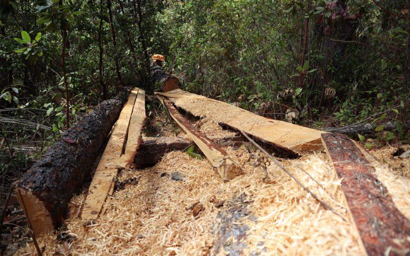 Chilpancingo gro, 21 de enero 2021. // Depredadores forestales talan arboles en el ejido de la Cienega, Chilpancingo, y el cual fuere denunciado por parte de ejidatarios además de señalar que la Secretaría del Medio Ambiente y Recursos Naturales (Semarnat) y la Procuraduría Federal de Protección al Ambiente (Profepa) autorizaron un permiso para su explotación de 40 hectáreas de este mismo ejido. // Foto: Jesús Eduardo Guerrero